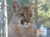 The mellow, loving cougar