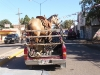 Who needs a horse trailer...